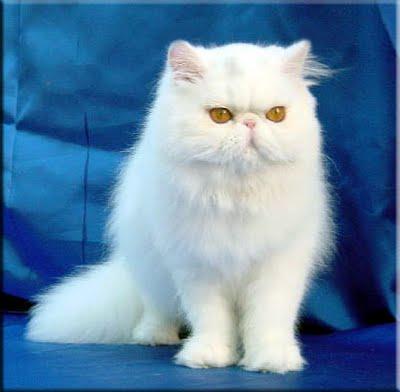 Favorito Gatto Persiano QM62