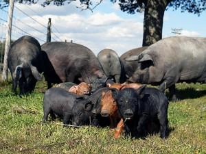 maiale allevato all'aperto