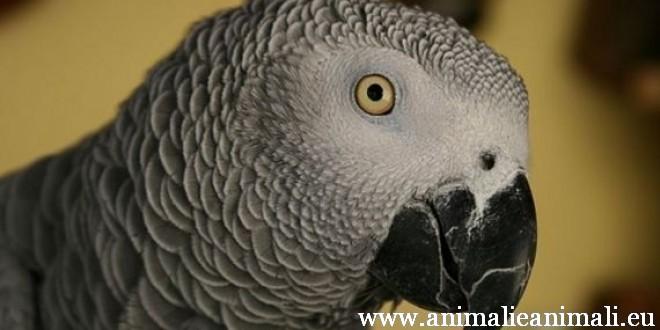 pappagallo cenerino testa