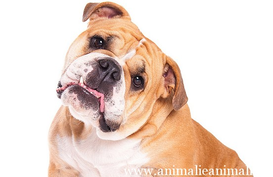 bulldog5