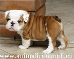 regalo-cuccioli-di-bulldog-inglese_98785122226105177