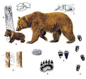 ursus-arctos-tegn