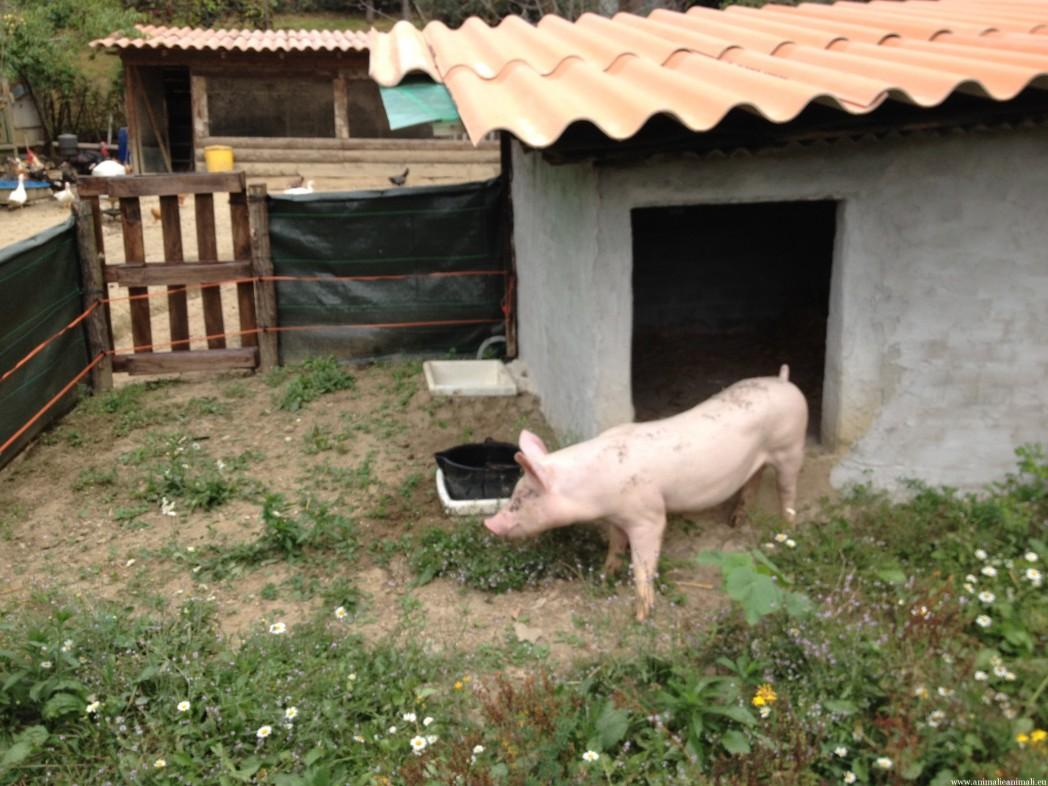 Allevamento del maiale allo stato brado for Costruire recinto per cani