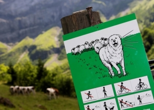A sign warning walkers about the presence of Great Pyrenees dogs with cattle is pictured near Les Diablerets July 31, 2012. Swiss farmers use Great Pyrenees dogs to protect their cattle from wolves. In early 2012, the Swiss Federal Office for Environment counted five wolves have entered the country out of the 70 to 200 that live in France and Italy. Picture taken July 31, 2012.  REUTERS/Denis Balibouse (SWITZERLAND - Tags: AGRICULTURE ANIMALS SOCIETY)