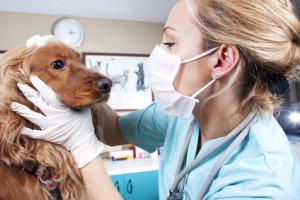 Lady veterinary examining the dog