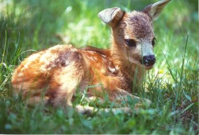 cucciolo-capriolo
